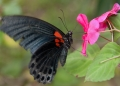 papilio memnon. A Great Mormon butterfly feeding on flow...