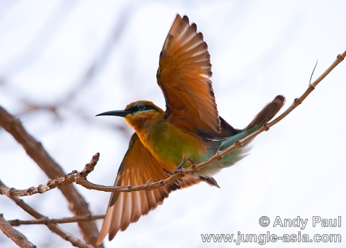 merops philippinus. Blue-tailed Bee-eater.