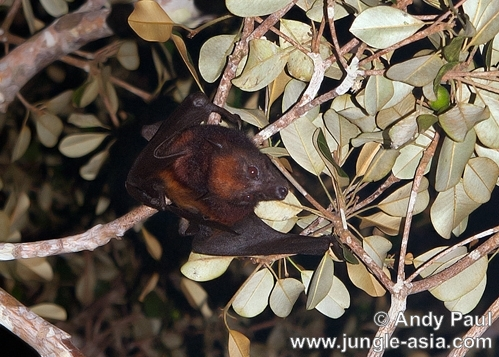 pteropus sp. A Fruit Bat looking for ripe fruit. Frui...