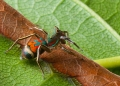siler semiglaucus. Jumping spiders or salticids are the lar...