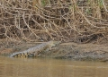 crocodylus porosus. An Estuarine Crocodile basking in the su...