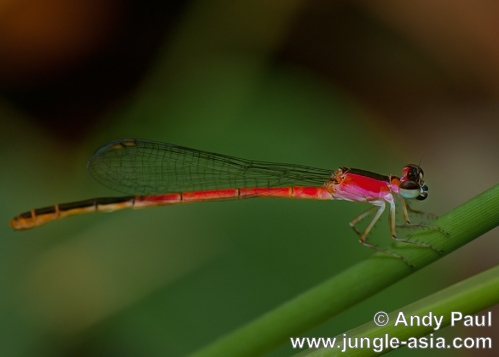 agriocnemis femina (female). This damselfly was found in large number...