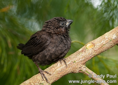 lonchura fuscans (juvenile). Endemic to Borneo, the Dusky Munia is co...