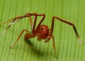 amyciaea lineatipes (male). Similar to the Ant-mimic Jumping Spider,...