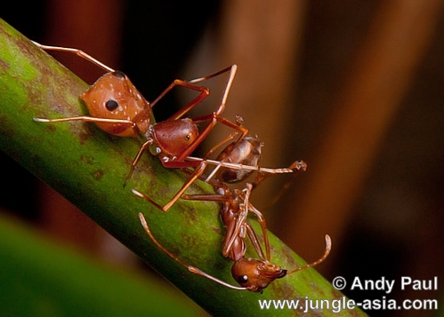 amyciaea lineatipes (female). Similar to the Ant-mimic Jumping Spider,...