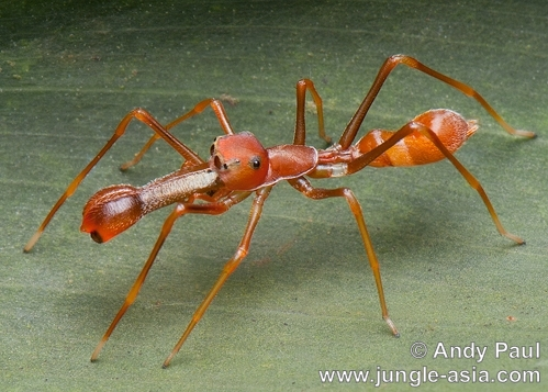 myrmarachne plataleoides (male). Similar to the Ant-mimic Crab Spider, th...