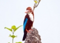 halcyon smyrnensis. White-throated Kingfisher.