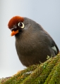 gaarrulax mitratus. The Chestnut-capped Laughingthrush is a ...