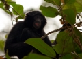 symphalangus syndactylus. A Siamang Gibbon feeding on wild fruit a...
