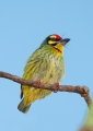 megalaima haemacephala. The Coppersmith Barbet gets its name fro...