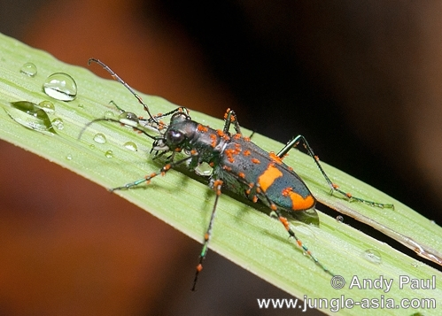 A species of Tiger Beetle photographed i...