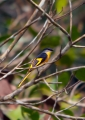 pericrocotus solaris (female). The female Grey-chinned Minivet looks ve...