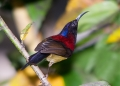 aethopyga saturata (male). The Black-throated Sunbird is a colorful...