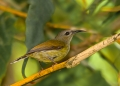 aethopyga saturata (female). The Black-throated Sunbird is a montane ...