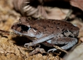 leptobrachium nigrops. As its name suggests, The Black-eyed Lit...