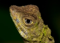 aphaniotis fusca. A head-shot of the Earless Agamid. Ident...