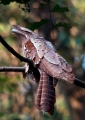 batrachostomus auritus. Large Frogmouth.