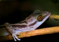 cyrtodactylus quadrivirgatus. The Marbled Slender-toed Gecko or Marble...