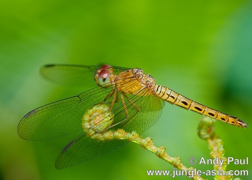 neurothemis fluctuans (female). An immature female neurothemis fluctuans...