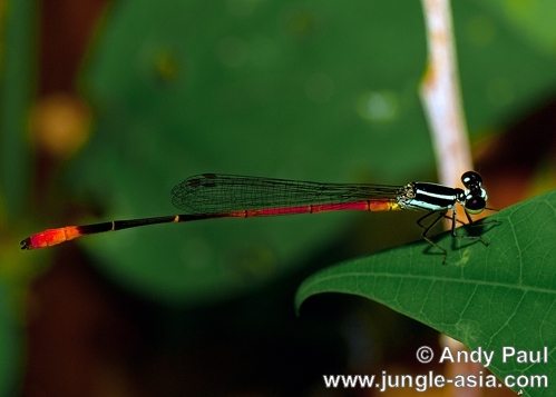 agriocnemis rubescens (male). An immature male agriocnemis rubescens. ...