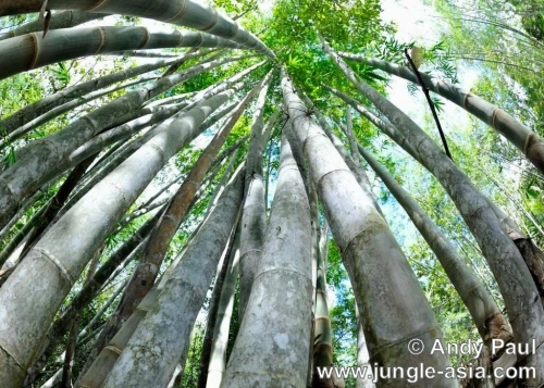 Massive bamboo shooting up towards the s...