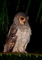 strix seloputo. Night shot of a Spotted Wood-owl perchin...