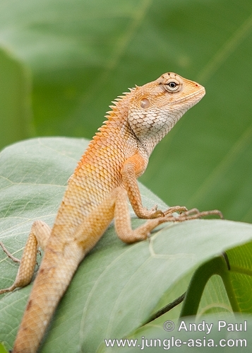 calotes versicolor. The common but attractive Changeable or ...