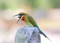 merops philippinus . A Blue-tailed Bee-eater regurgitates a p...