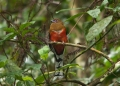 harpactes erythrocephalus (female). Red-headed Trogon. Males possess a brigh...