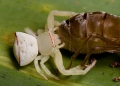 thomisus sp.. Crab spiders are masters of ambush preda...