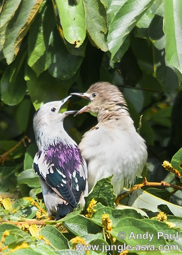 sturnus sturninus. A pair of Purple-backed Starlings baskin...