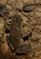 ingerophrynus divergens. The small Forest Toad is often found cam...