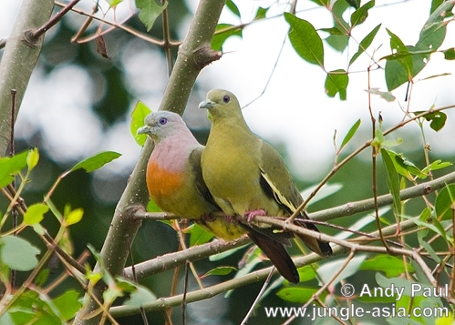 treron bicinctus (male and female). A pair of Orange-breasted Green-pigeons....