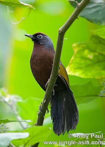 garrulax erythrocephalus. Chestnut-crowned Laughingthrush. The sub...