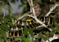 boiga dendrophila. The Mangrove Cat Snake is often seen bas...