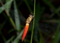 lyriothemis biappendiculata. A dragonfly of the libellulidae family p...