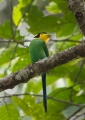 psarisomus dalhousiae. The Long-tailed Broadbill, a beautifully...