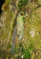 A newly emerged cicada rests and waits f...
