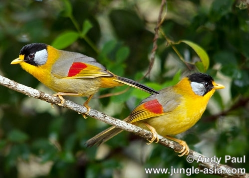 leiothrix argentauris (female). A pair of female Silver-eared Mesia.