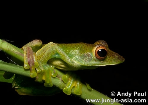 rhacophorus prominanus. The Malayan Flying Frog or Jade Tree Fro...
