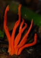 clavulinopsis miniata. Bright red Club-fungi branching out from...
