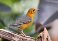 zoothera citrina. The Orange-headed Thrush is a highly pri...