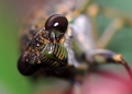 orientopsaltria sp.. A cicada of the genus orientopsaltria, p...