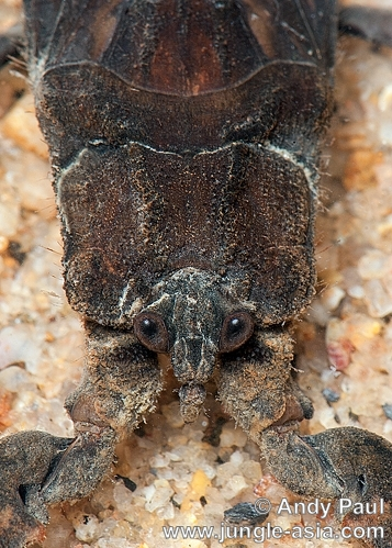 nepa sp.. A close-up photo of a Water scorpions he...