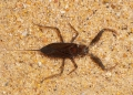 nepa sp.. Although resembling land scorpions, Wate...