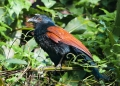 centropus sinensis. A Greater Coucal basking in the morning ...
