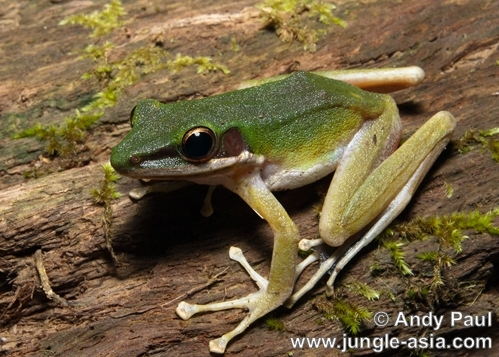 hylarana raniceps. A White-lipped Frog photographed in a pr...