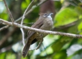 alophoixus ochraceus. The Ochraceous Bulbul is a songbird that...