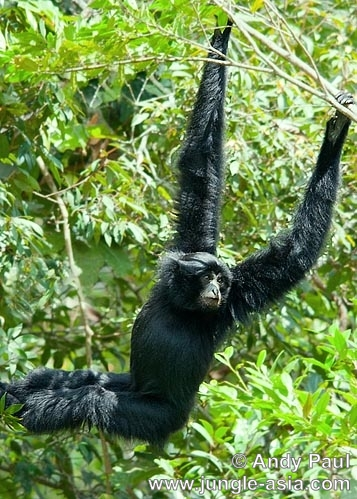 symphalangus syndactylus. Siamang are unique compared to other gib...