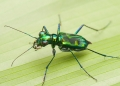 An unidentified tiger beetle photographe...